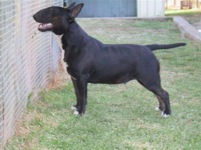 black bull terrier